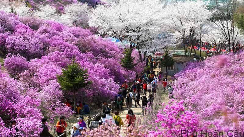Các loại hoa tại Bucheon thu hút rất nhiều du khách